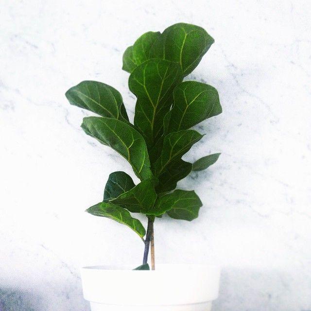 Woohoo🌱Come see us #TOMMORROWPEOPLE  at Broncos Red Hill Markets!!! 6am-noon @ Fulcher Road,  Red Hill. #redhillmarkets #redhill #redhillfarmersmarkets #paddington #bardon #thebotanicalsociety #bambino #fiddleleaf #fiddleleaffig #ficuslyrata #greenliving #houseplant #indoorplants #iloveplants #indoorgardening #livingwithplants #plants #brisbane #botanical #secretgardens