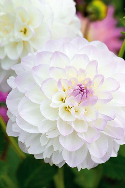 Dahlia 'Eveline' - Ideal for adding colour to the late summer border, this tall dahlia produces beautiful creamy white flowers, which have a hint of pink at their petal tips. This pink flush is quite noticeable when all the petals are still opening as it forms a distinctive 'eye' at the centre of each bloom. A wonderful addition to the mixed or herbaceous border, the flowers are also excellent for cut arrangements.