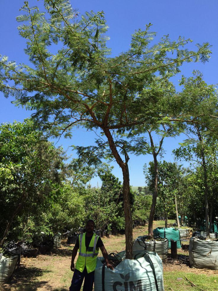 Stunning 1000L Acacia sieberiana var. woodii (presently Vachellia sieberiana) Paperbark thorn / Acacia