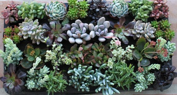Succulent Plants  A Variety Of 100 Succulents by SucculentOasis, $190.00