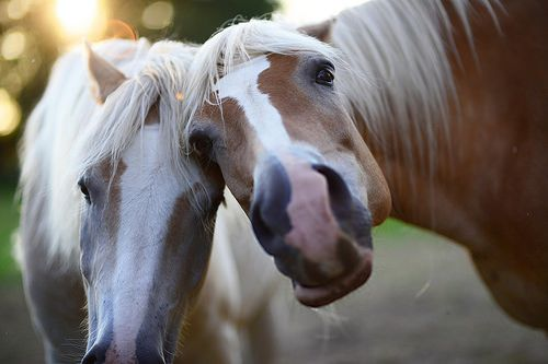 Haflinger in love...:
