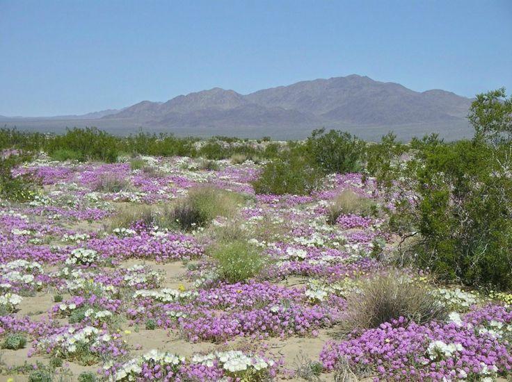 22-Flowering-desert.jpg (934×698)
