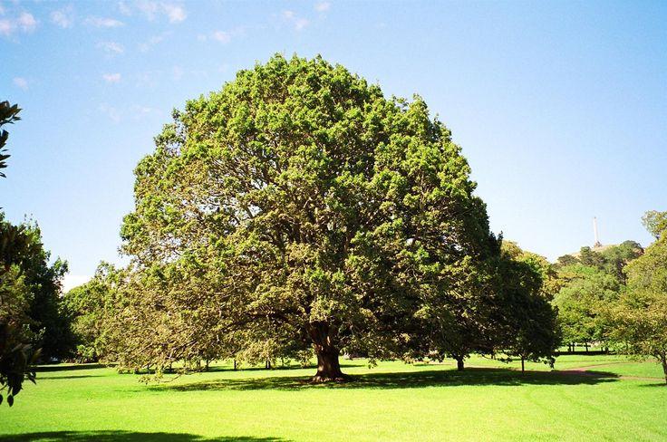 Algerian Oak, (Quercus canariensis) Notable Tree