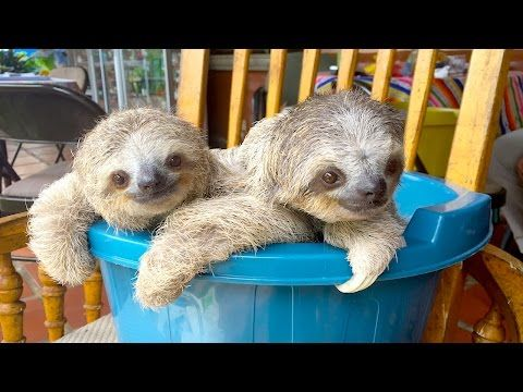 Orphaned baby sloths learn to climb in the absence of trees at a Costa Rican animal sanctuary. When they can survive on their own, the sloths will be released back into the wild.