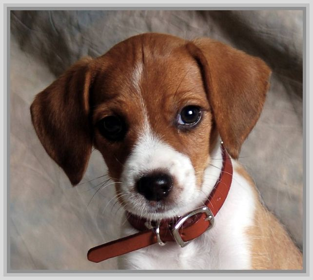Jack Russell Terrier B...