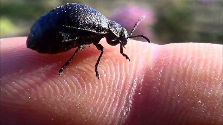 Rynnica olszowa - owad (Plagiosterna aenea)