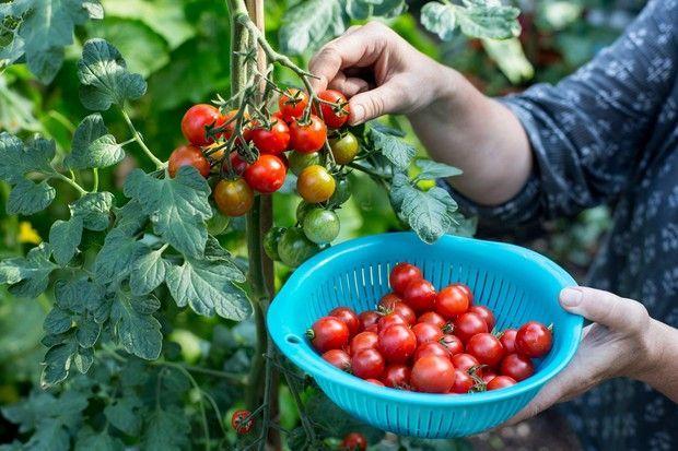 e1f1ff36f73b16283f0f267e090c37ec - Gardeners World Magazine Free Tomato Seeds