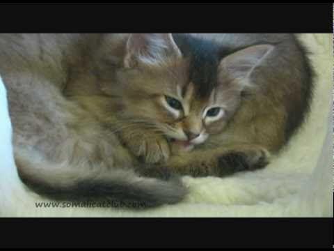 Livvy The Somali Cat's Cute Kittens - https://funnypetvideos.net/livvy-the-somali-cats-cute-kittens/