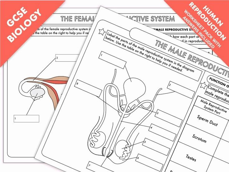 The Female Reproductive System Worksheet Best Of Gcse ...
