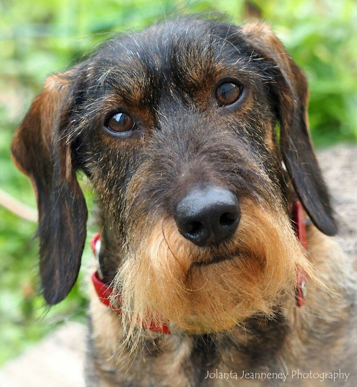 Dachshund image by Jennifer Kniphfer on teckel wirehaired