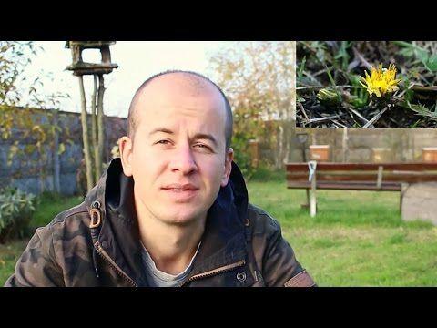 Mniszek pospolity (lekarski) - YouTube