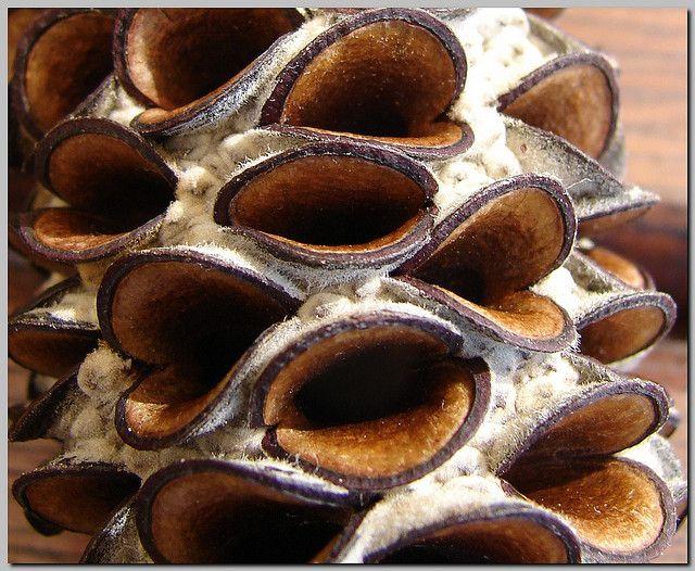 banksia seed capsule