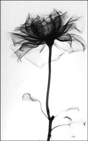 x-ray image of a rose by albert koetsier