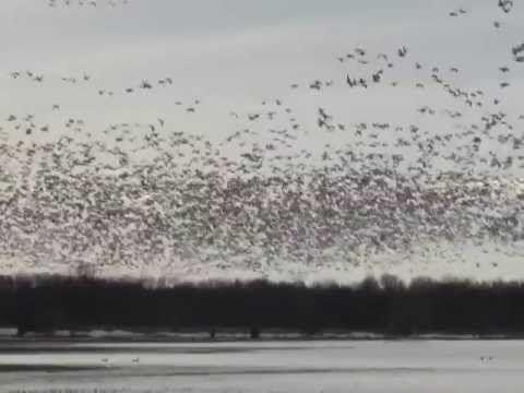 Migration des oies blanches au Québec