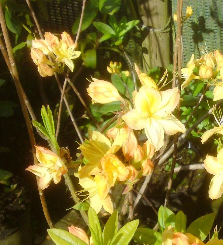 azalea old gold