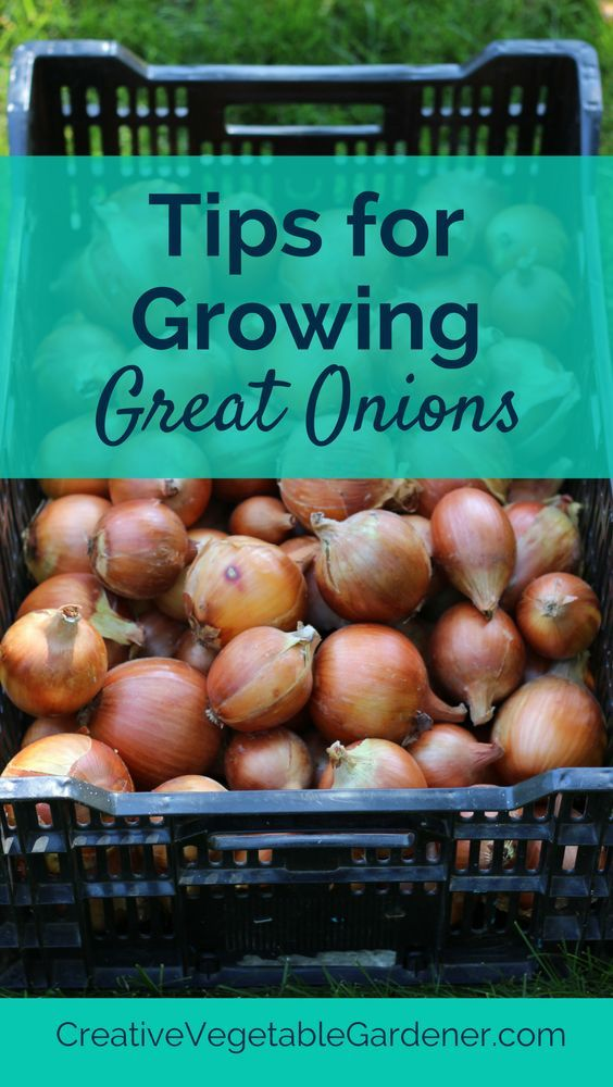 There are a few things you should know if you want to grow amazing onions.