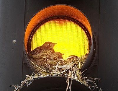This thrush and its young family have gone a step further by nesting inside the traffic light itself in Leeds city centre, seemingly oblivious to the constant traffic.