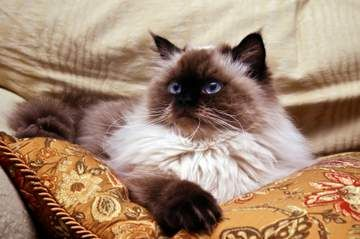 Long Haired Chocolate Siamese Cats | Long haired Siamese cats and other relatives