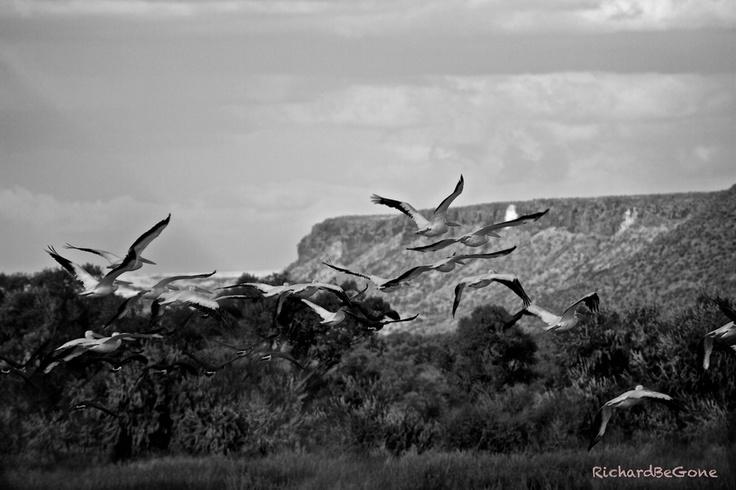 Desert Pelicans