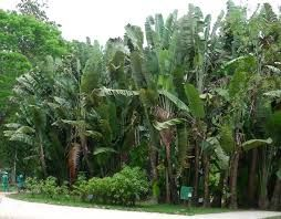 ... la zona de la Guayana (clima ecuatorial) es mucho más cálida que Madagascar (clima tropical), no parece lógico. Un saludo. Bosques de Ravenalas.
