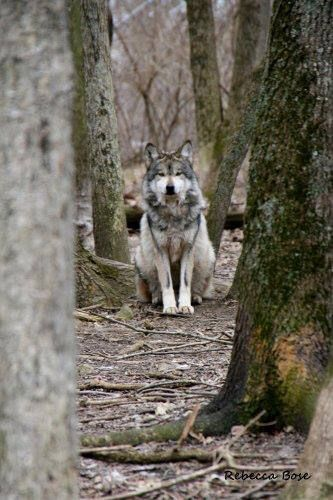 Beautiful Mexican Gray Wolf.                                                                                                                                                                                 Mais