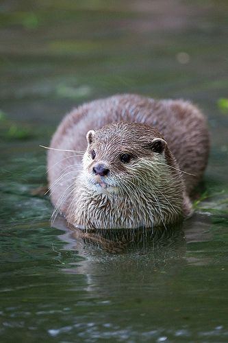 Healthy happy hunting otter