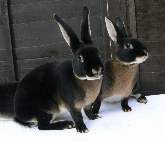 Black Otter Rex - National Otter Rex Rabbit Club