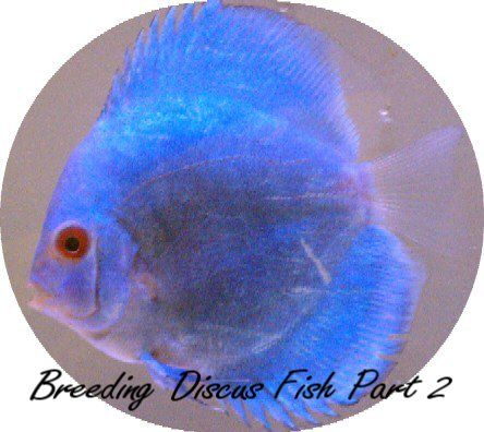 Check out my new article on breeding disuc fish part 2 for Methylene blue fish