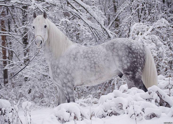 Cavalo Trotador de Orlov.