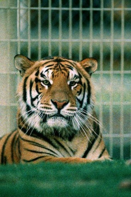 Mike the Tiger, LSU's mascot. By Jim Kleinpeter Staff writer