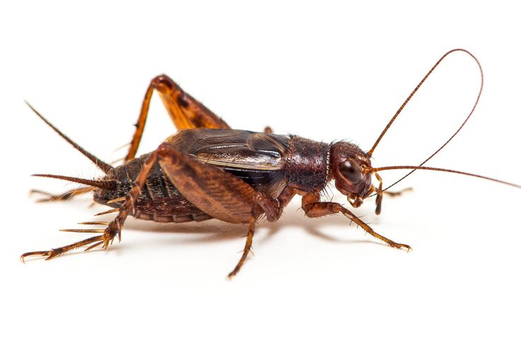 on the grasshopper and cricket essay
