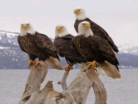Bald Eagles - Birds Wallpaper ID 1192779 - Desktop Nexus Animals