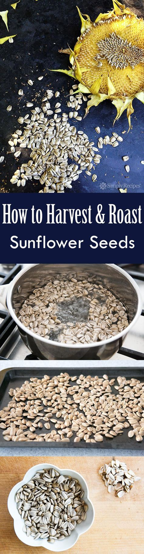 Growing sunflowers? Here's how to harvest and roast the sunflower seeds from your sunflowers.