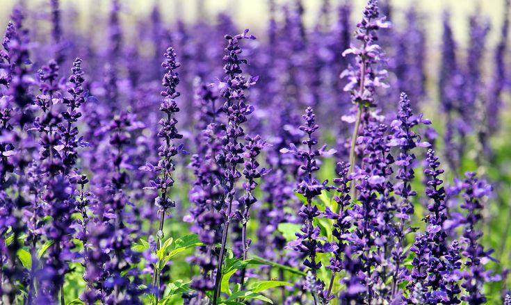 Come coltivare la lavanda in giardino? #lavender How to make it grow in garden? #lavanda #garden #giardino #coltivare #come #howto #tips #piantare #seminare #semina #parfum #profumo #violet #viola #purple #iloveflowers #flowerpower