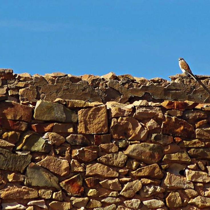 Kestrels overlooking the restorations at Farina