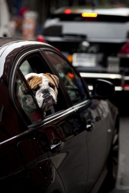 city slicker...: Sad Faces, Englishbulldog, Dapper Doggies, Dogs Animalplanet, English Bulldogs, Sad Dogs, Stuff I Like, Photo, Bull Dogs
