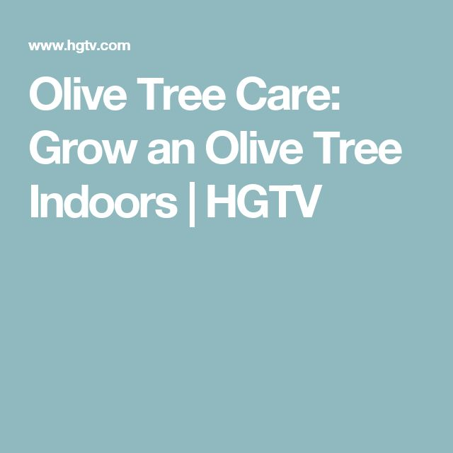 Olive Tree Care: Grow an Olive Tree Indoors | HGTV