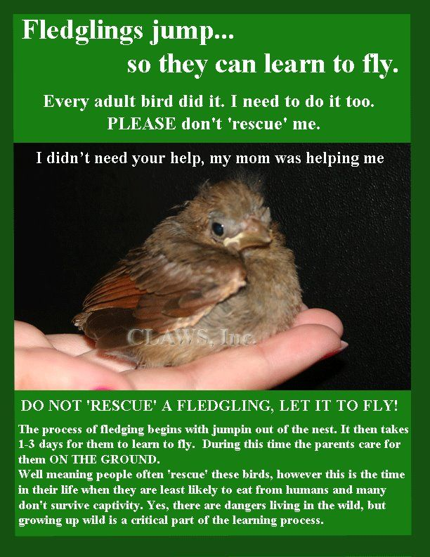 Found a  baby bird on the ground? It's best to leave it there. Click through to SeEtta's blog post to learn more.Birds Stuff, Animal Shelters, Animal Advocacy, Baby Animal, Birds Learning, Fledgling Birds, Birds Bonanza, Birds Alone, Baby Birds