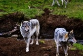 Wolfs Royalty Free Stock Photo, Pictures, Images And Stock Photography. Image 14956254.