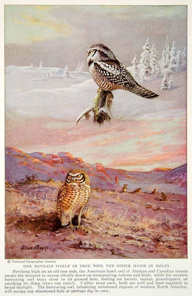 1935 Color Print American Hawk Western Burrowing OWL Bird Wildlife Image  NGMA6   eBay