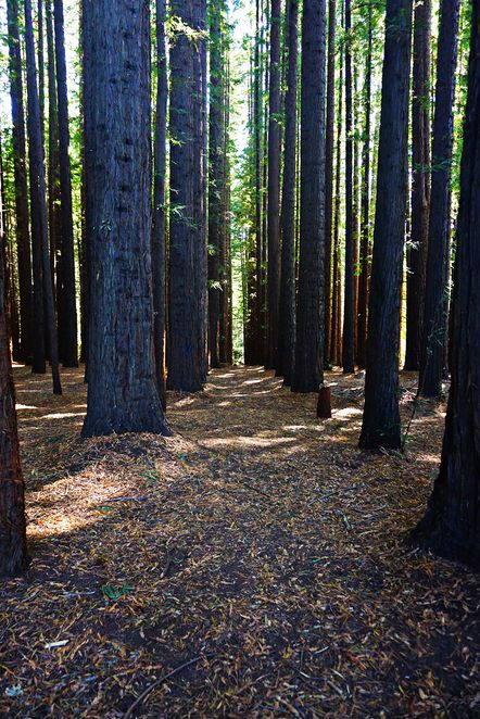 Melbourne WeekendNotes - East Warburton Redwood Forest - Melbourne