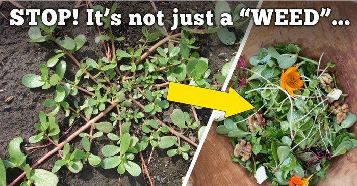 10 Reasons Why Not To Kill This Weed In Your Garden