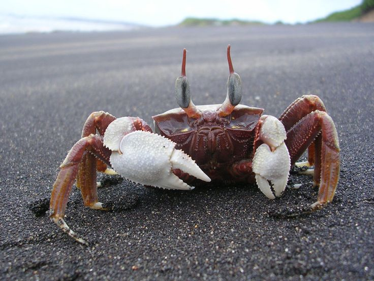 CRAB SPECIES | One of several Ghost Crab species which live on the sand adjacent to ...