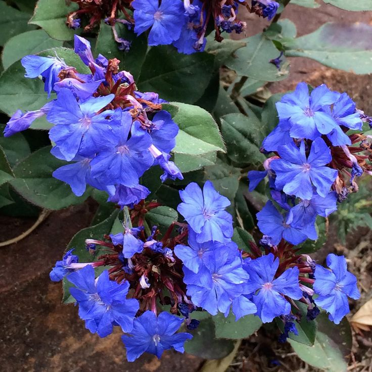 2003 Plant Select Winner 6 in. tall x 12 in. wide Corsican pansy is a perennial wildflower from the Old World that blooms most of the growing season with whiskered blue-purple flowers. A real gem.