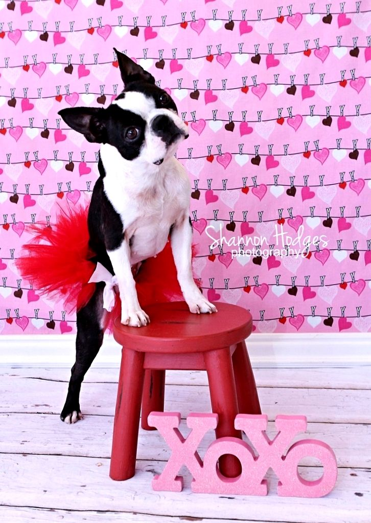 #Valentine's Day #dog Boston Terrier #pink ToniK ⒷMine
