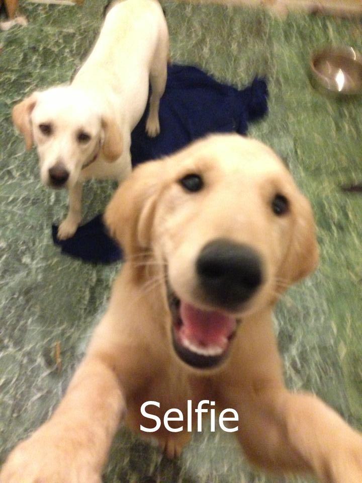 Golden Retrievers Selfie