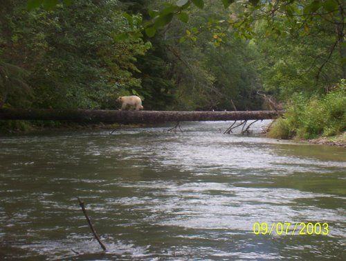 Lakelse River , Kermode Bear crossing on a log