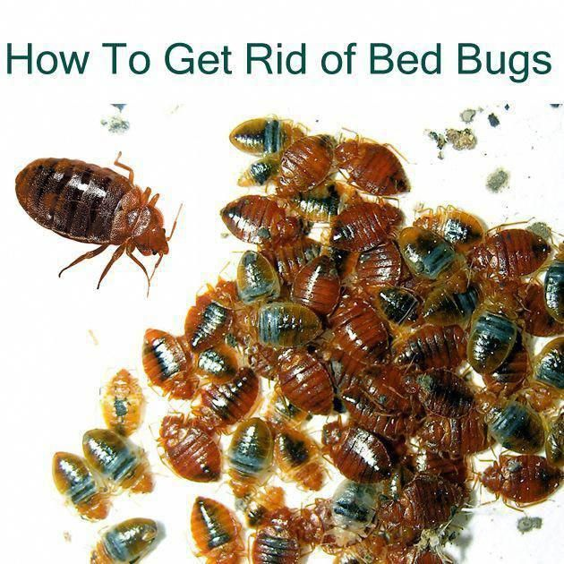 How To Get Rid Of Bed Bugs Naturally Bedbugpestcontrol
