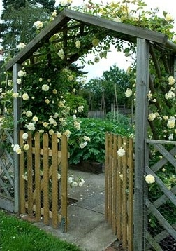 Rosa 'Malvern Hills' over arch and gateway into vegetable garden