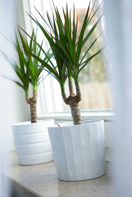 Dracena Marginata, via Flickr. My houseplant of choice. Slow grower but thrives no matter what you do or don't do to it!